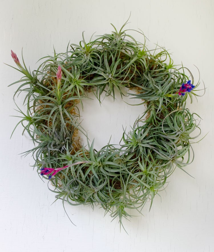 Make an Easy Living Air Plant Wreath