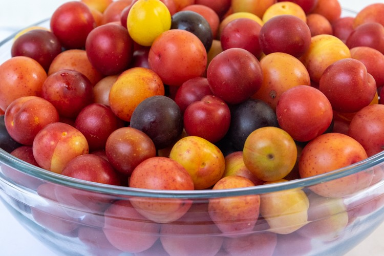 Wild Plums Ready for Jam