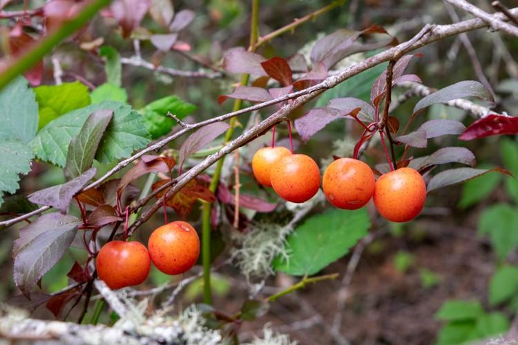 Wild plums on the tree